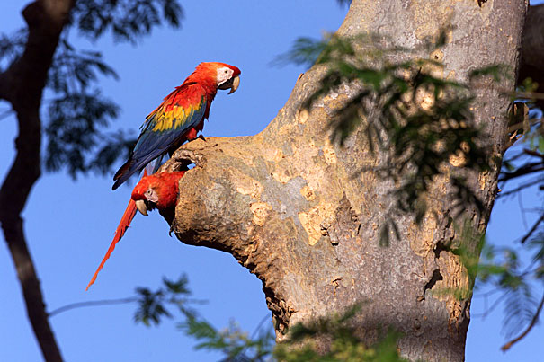 http://www.ms-starship.com/journal/apr99/images/macaws_at_nest_close_md.jpg