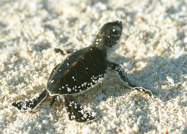 external image turtle-hatchling-38NK2047.jpg