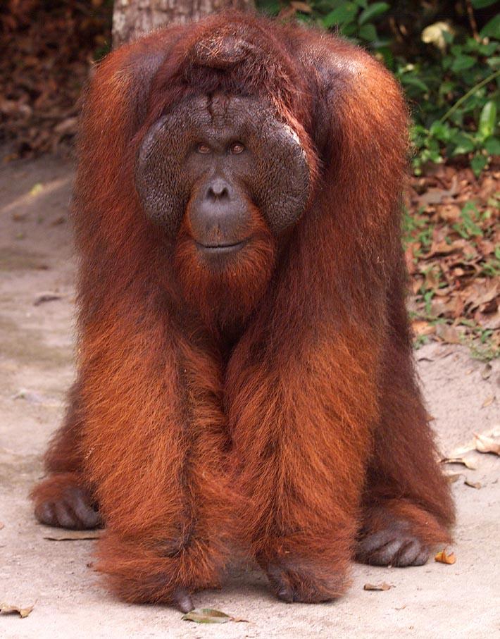 Orangutan King Kosashi  the oldest male a